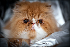 Laying On Space Blanket (jayohaycheen) Tags: portrait pet cute classic animals cat persian eyes foil space flash gimp indoors blanket 5d lightroom 70200f4l 5dc