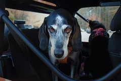 2/52 customary (huckleberryblue) Tags: dogs gracie jeep hiking hound week2 outing bluetickcoonhound 52weeksfordogs