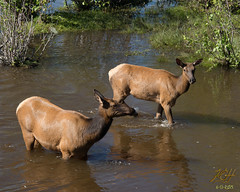 Two Elk (KGHofSF) Tags: park morning family usa lake nature animal outside mammal island photography photo colorado day wildlife photograph elk herd wading cervidae kgh evergreenlake animalbehavior cervuscanadensis kghofsf