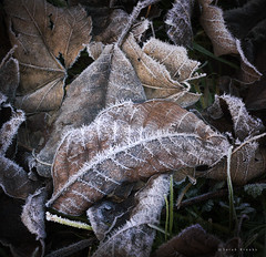 Spine Tingle (Sarah_Brooks) Tags: uk winter england brown white ice leaves leaf frost somerset frosty veins spine leafs wintery