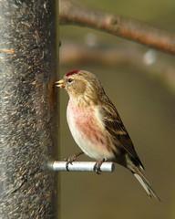 Redpoll XI (male) (Dr Nigel) Tags: england bird nature birds lumix wildlife reserve panasonic finch naturereserve northeast teleconverter redpoll dwt lowbarns raynox dmcfz8 lowbarnsnaturereserve dcr2025pro