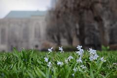 20140422 (zumakuma) Tags: toronto flower nature spring university trinitycollege universityoftoronto signofspring