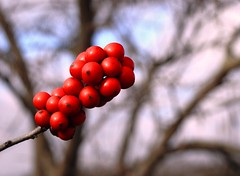 2870e2x  P900  a dab of winter color (jjjj56cp) Tags: winter red december dof bokeh p900 redberries trailside glenwoodgardens jennypansing