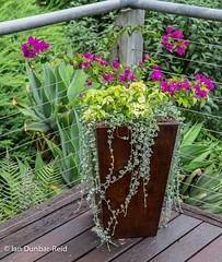 Bougainvillea and friends (idunbarreid) Tags: bougainvillea pots