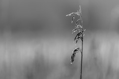 untitled-6 (Keith Grafton) Tags: bw reeds dof leightonmoss