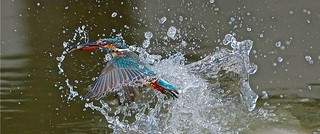 Kingfisher, alcedo atthis, a wonderful catch.