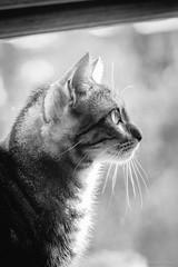 Maya (gRom62) Tags: blackandwhite pets gatti animalidomestici