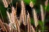 Early Sunlight 2 (Bá Văn Tô) Tags: nature grass flora dof bokeh super smc fa5014 k100d