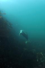 Farnes-201508-Megstone1-10-Seal (Tony J Gilbert) Tags: england landscapes nikon marine underwater diving alnwick northumberland seals bamburgh lindisfarne d300 underwaterphotography leehall greyseals farnediverii