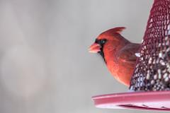 DSC_0643 (mangoldm) Tags: bird birds cardinal