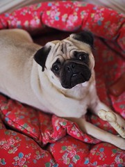 Teddy (LululovesUK) Tags: pug cathkidston