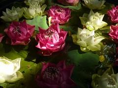 Flower Bomb (Nabila M.) Tags: trip flower fleur thailand asia lotus bangkok panasonic asie thailande nenuphar jimthompsonhouse