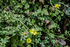 (Psinthos.Net) Tags: flowers winter nature leaves countryside blossoms january valley wildflowers noon yellowflowers fallenleaves    winterleaves  sorrels yellowblossoms fasuli psinthos      fasouli          psinthosvalley fasoulipsinthos  fasoulivalley  fasoulipsinthou