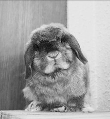Andora [12 Jun 05 to 1 Feb 16] (jade_c) Tags: pet rabbit bunny animal mammal singapore opal  hollandlop andora   lagomorph opalhollandlop singaporeandora