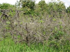 starr-110331-4643-Diospyros_kaki-habit-Shibuya_Farm_Kula-Maui (Starr Environmental) Tags: diospyroskaki