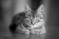 Lilo (iShootCandid) Tags: portrait blackandwhite bw pet look cat fur eyes kitten bokeh tabby fluffy poland naturallight whiskers purr meow lilo wroclaw purrfect modelcitizen canonef135mmf2lusm bokehlicious canon6d kyloren wro2016