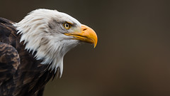 Bald Eagle (Bastian.K) Tags: sea zoo see nikon eagle bald 20 weiss d800 20g kopf 200mm weisskopfseeadler weis egale vri weisskopf seeadler weiskopfseeadler