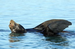 California Sea Lion (Zalophus californianus) DDZ_5478 (NDomer73) Tags: mammal december sealion better elkhornslough californiasealion 2015 17december2015