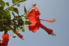 Hibiscus rosso a Isola delle Femmine (costagar51) Tags: isoladellefemmine palermo sicilia sicily italia italy panoramafotográfico thebestofmimamorsgroups mixofflowers macroelsalvador flowerarebeautiful nature'splus