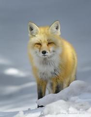 Checking Us Out (Happy Photographer) Tags: park winter snow wildlife national fox grandteton feburary gtnp nikond810 amyhudechek nikon200500mmf56