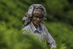 A Sri Lankan tea picker (Ian Lewry Photographer) Tags: portrait woman tea sri lanka srilanka teapicker lewry ianlewry