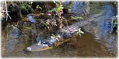 Sawgrass Lake Park - St Petersburg, Florida (lagergrenjan) Tags: park lake st florida alligator petersburg sawgrass