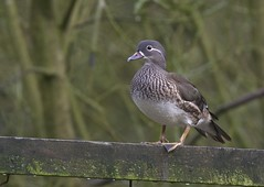 Female Mandarin Duck (Dave Brotherton Wildlife Photography) Tags: winter colour nature countryside duck nikon wildlife ngc tamron waterbirds outabout plumage winterwatch d7100 adelnaturereserve tamron150600 davebrothertonphotography