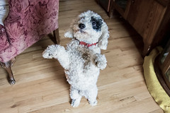 Lets Dance! (aivzdogz) Tags: dog pet pets cute love dogs animal animals puppy dance mutt mix dancing fluffy indoors poodle inside