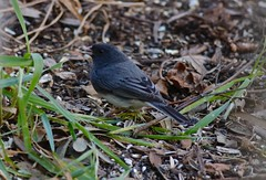 Black-Eyes Junco, Maybe (Gabriel FW Koch) Tags: bird nature leaves canon outside eos wings outdoor wildlife feathers seeds telephoto dos songbird blackeyedjunco seedeater