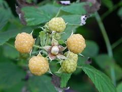 gold raspberries (Salamanderdance) Tags: yellow gold golden berry berries raspberry raspberries