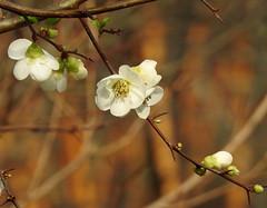 blossoms (bugman11) Tags: white nature petals flora nikon blossom bokeh blossoms nederland thenetherlands 1001nights bloemen autofocus thegalaxy platinumheartaward 1001nightsmagiccity allnaturesparadise