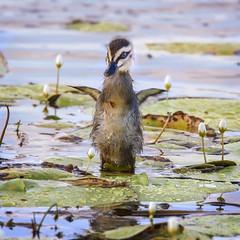 junior (Fat Burns ☮) Tags: bird fauna duck feathers waterbird d750 bribieisland pacificblackduck anassuperciliosa australianfauna naturenikon buckleyshole sigma150600mmf563dgoshsmsports sigmateleconvtc1401nik ducklingaustralian