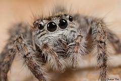 IMG_8214 Var - Philaeus chrysops (fabianvol) Tags: portrait france macro spider retrato arachnid araa francia jumpingspider araigne arachnida arachnide saltcido arcnido saltique