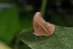 Coelites epiminthia (moloch05) Tags: malaysia taman negara