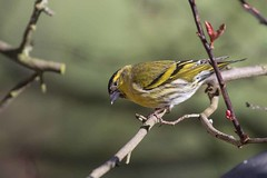 Siskin (arthurpolly) Tags: uk wild bird nature beautiful birds photoshop canon eos wildlife avian siskin northwales topshot 100400l 100400is flickrdiamond natureselegantshots 7dmk2 elements13