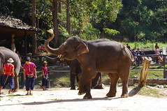 Elephant Show, Chiang Mai, Thailand (ARNAUD_Z_VOYAGE) Tags: street city building art beach nature architecture landscape thailand asia state action country capital southern portion southeast peninsula region department indochina municipality indochinese