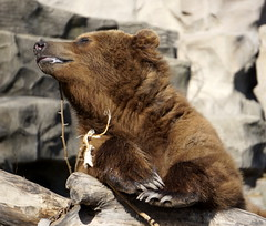 Everyone was enjoying the wonderful sunshine! (LeeLee 3680) Tags: detroitzoo grizzlybear