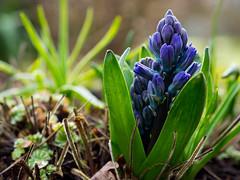 Hyacinthus (rainerralph) Tags: flowers flower garden spring outdoor olympus garten hyacinthus hyacinthe printempsfrhling olympusomdem1 objektiv45mm18