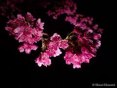 Cerasus cerasoides var. campanulata (Shiori Hosomi) Tags: flowers plants japan night tokyo march nocturnal  sakura cherryblossoms   prunus rosales cerasus  2016  rosaceae taiwancherry      noctuary   flowersinthenight  noctivagant   23