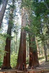 Giant Sequoias (Oriol Puig28) Tags: ca summer colors forest giant big yosemite sequoia naturelovers nikno nikonistas