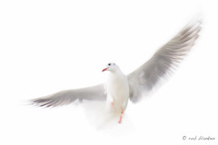 Dancing in the Air (3) (Rob Blanken) Tags: dancing gull highkey longexposuretime nikond810 sigmas150600mmf563dgoshsm