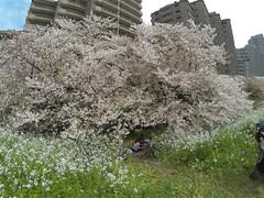 Cherry blossom in full bloom  (yh828) Tags: pink flowers white green spring  radish   fullbloom