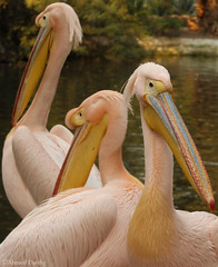 Pelecanus (Ahmed Dardig) Tags: bird photography zoo egypt cairo pelecanus