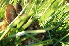 Jger (leisergu) Tags: cat hunting hunter katze kater jagd tomcat jger