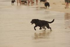 Dogs @ The Spit (www.stevebarnes.photography) Tags: portraits australia brisbane queensland petphotographer dogphotographer