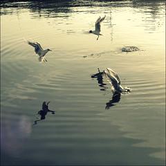 (*Kicki*) Tags: birds water stockholm sweden square seagulls 50mm gamlastan gulls måsar skrattmåsar frozenmoment wings backlight animal bird