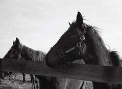 img524 (matthew.vortex) Tags: horses blackandwhite animals fence minolta bluegrass lexington kentucky ilford fp4 125 minoltina calebsposse candymeadowsfarm