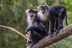 Lion Tailed Macaque Monkey (Saeed Lajami) Tags: india animal canon monkey wildlife karnataka in mysuru liontailedmacaquemonkey