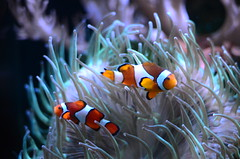 Which one is Nemo (Cool Pooch) Tags: two aquarium clownfish fishtank seaanemone chesterzoo
