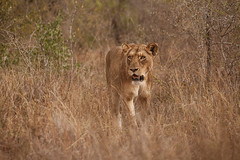 african lion (Panthera leo) (delimaaaaaaaaa) Tags: africa southafrica lion reserve safari leo krugerpark reserva leoa gamereserve frica safri fricadosul